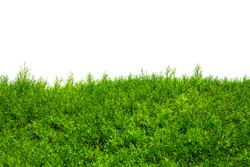 Green Hedge of Thuja Trees (cypress, juniper). Green bush hedge isolated on white with space for text. Copy space