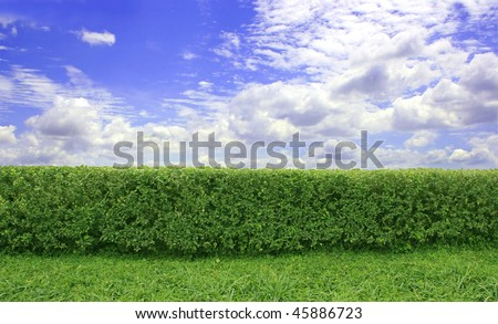 Green hedge with a beautiful blue sky and white clouds