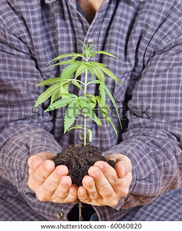 Green herbs in a open palm. Gardener is holding the green plant. Hands shows small herb with roots in soil. Careful cultivation of plants marijuana. Transplanting whole plant.