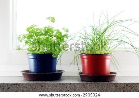 Green herbs in the flowerpots in front of window.