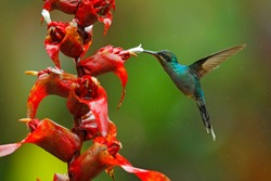 Green Hermit, Phaethornis guy, rare hummingbird from Costa Rica, green bird flying next to beautiful red flower with rain, action feeding scene in green tropical forest, animal in the nature habitat.