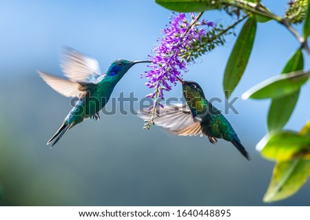 Photo of  Green Hermit, Phaethornis guy, rare hummingbird from Costa Rica, green bird flying next to beautiful red flower with rain, action feeding scene in green tropical forest, animal in the nature habitat.