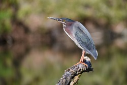 Green heron upclose in Walpack Fish and Wildlife Management Area, New Jersey