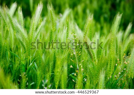 Green high grass with ears close-up. Summer concept texture background. stock photo