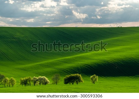 Green hills with young wheat in evening light, agricultural landscape
