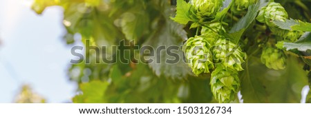 Green hop cones grow in field, close up banner. Green fresh Hop flower and leaves growing in hop yard. Hop field landscape in sunny day. Green fresh Hops plant growing in Hallertau, Holledau, Bavaria
