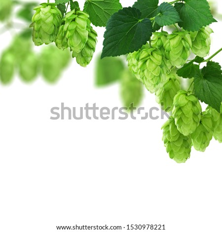 Green hop cones - ingredient in the beer production. Fresh green hop branch with Hop cones and leaf on white background.Hops vine with cones and leaves border on white background with copy space.