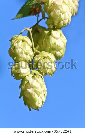 Green hop cones over a blue sky background