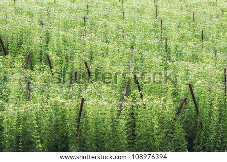 Green hop fields before harvest.