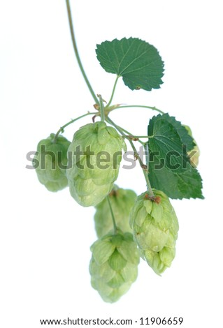 green hops  .