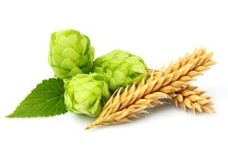 Green hops, ears of barley and wheat grain.Isolated closeup on white background.