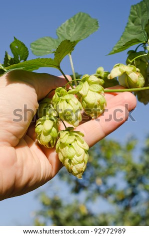 green hops in hand