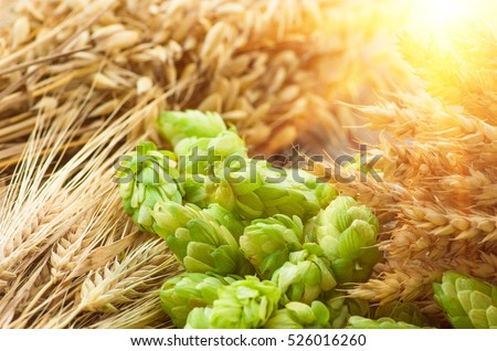 Green hops, malt, ears of barley and wheat, ingredients to make beer and bread, agricultural background.