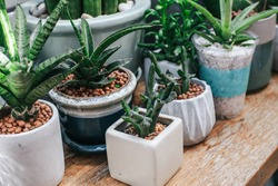 Green houseplants cactus succulent aloe vera, gasteria duval, parodia warasii in sponge clays use for the moisture retention of the plant in the flower pot. Decoration in house