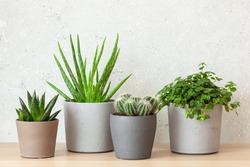 green houseplants succulent aloe vera, gasteria duval, pilea depressa
