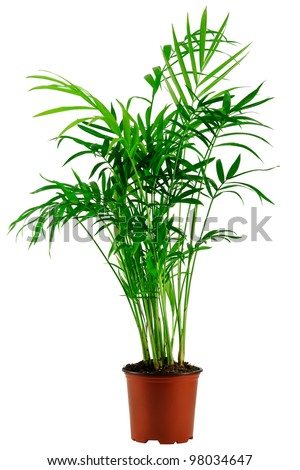 green howea palm-tree in flowerpot isolated on white