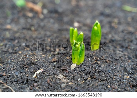 Green Hyacinthe buds sprouting out of the ground in early spring / end of winter before showing any sign of flowers close by. ストックフォト ©