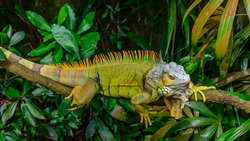 Green Iguana (also known as Common or American iguana) on branch in the forest background