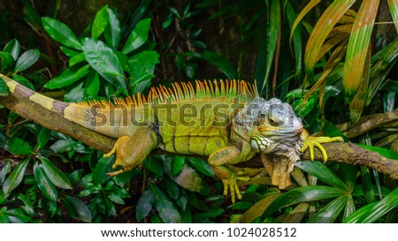 green iguana  also known as...