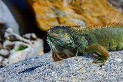 Green iguana, also known as the American iguana, herbivorous species of lizard of the genus Iguana.