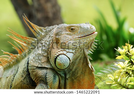 Green iguana also known as the American iguana is a lizard reptile in the genus Iguana in the iguana family. And in the subfamily Iguanidae.                     Zdjęcia stock ©