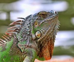 Green Iguana basking under sun