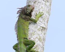 Green iguana climbing a tree in western Panama (Central America).