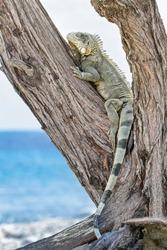 Green iguana climbing in tree at coast on island Bonaire