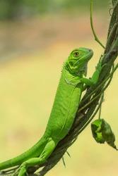 Green Iguana climbing tree branches