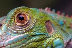 Green Iguana closeup eye