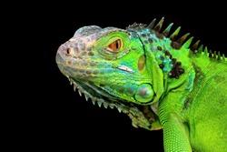 Green Iguana closeup head on black background,  Green Iguana closeup