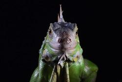 Green Iguana closeup head on black background , Green Iguana front view on black background, animal closeup