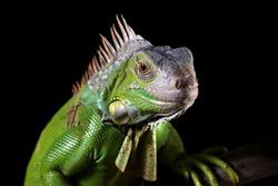 Green Iguana closeup head on wood with black background,  Green Iguana closeup head