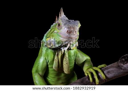 Green Iguana closeup head on wood with black background,  Green Iguana closeup head Zdjęcia stock ©