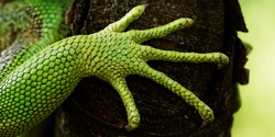 green iguana feet on the tree