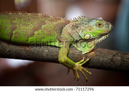 green iguana - (Iguana iguana)