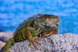Green iguana (Iguana iguana), also known as the American iguana