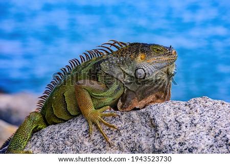 Green iguana (Iguana iguana), also known as the American iguana Zdjęcia stock ©
