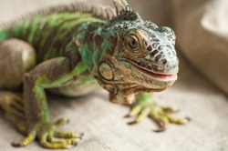 Green iguana (Iguana iguana, American iguana). Close up portrait of exotic home pet. Reptile sit on burlap. Selective focus.