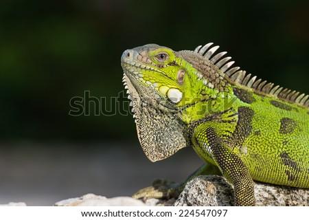 Green iguana (Iguana iguana) on a rock at Curacao