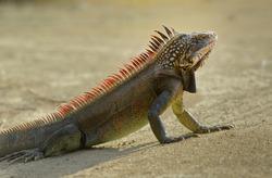 Green Iguana (Iguana iguana) or Common Iguana, Peter Island, British Virgin Islands