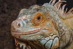 Green Iguana (Iguana iguana rhinolopha)