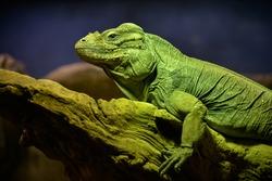 Green Iguana (Iguana iguana) static on a dead tree