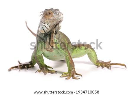 Green Iguana in a studio isolated on a white background Zdjęcia stock ©