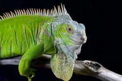 Green iguana in black background