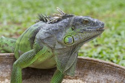 Green iguana in the feeding bowl