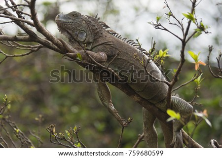 Green Iguana in tropical rainforest of Costa Rica - Arenal Volcano National Park, Alajuela province, Costa Rica
