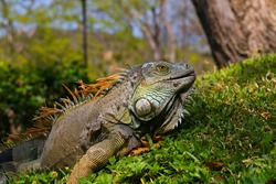 Green Iguana in tropical rainforest of Costa Rica, jungle in Pacific coast. Wildlife in Central America animal wildlife tropical botany reptile scale iguana fauna lizard claw close up