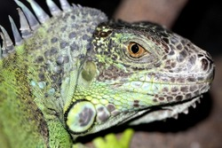 Green iguana is a herbivorous species of lizard; is lives in southern Brazil and Paraguay and north Mexico.