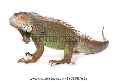 Green Iguana isolated on a white background Zdjęcia stock ©